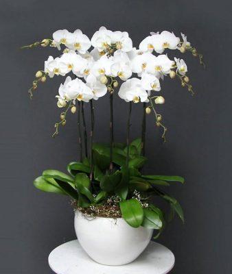 [ Giải đáp ] Dấu hiệu lan hồ điệp ra hoa ? lan hồ điệp ra hoa mấy lần ?