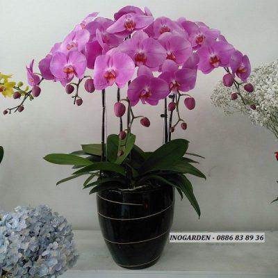 Hướng dẫn cách chăm sóc lan hồ điệp đang ra hoa sau tết