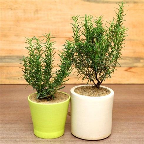 Cây hương thảo hợp mệnh gì ? ý nghĩa cây hương thảo ?